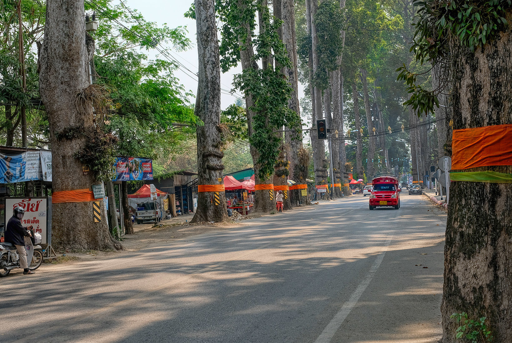 A solitary Songtheow (red passenger truck) passes by a stand of ordained Dton Yaang Naa trees